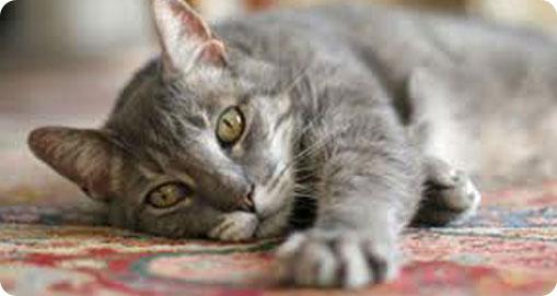 Balance Diet healthy cats